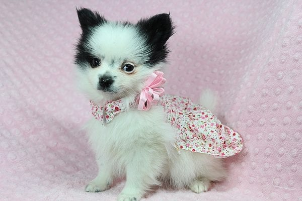 Princess Jasmine - Teacup pomeranian Puppy has found a good loving home with Donna from Las Vegas, NV 89109. -0