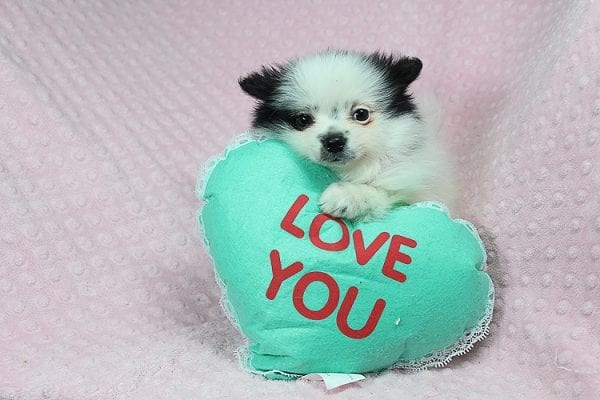 Princess Jasmine - Teacup pomeranian Puppy has found a good loving home with Donna from Las Vegas, NV 89109. -25502