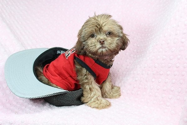 Rocky Road - Toy Shih Tzu Puppy Found Her Loving Home With Geneva M. In Fillmore CA, 93015-25530