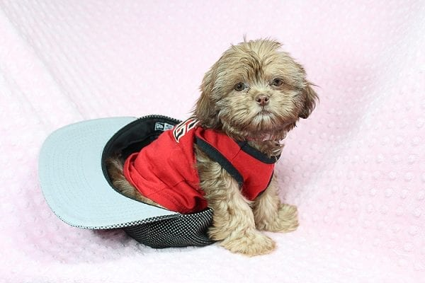 Rocky Road - Toy Shih Tzu Puppy Found Her Loving Home With Geneva M. In Fillmore CA, 93015-25531