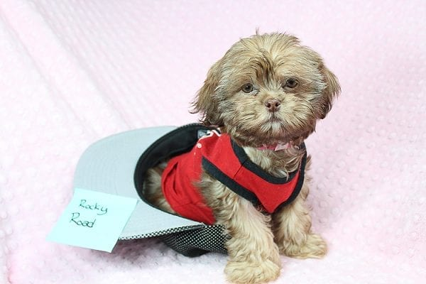 Rocky Road - Toy Shih Tzu Puppy Found Her Loving Home With Geneva M. In Fillmore CA, 93015-25532