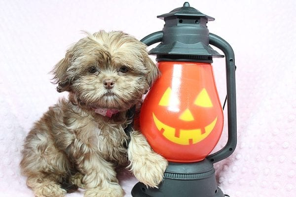 Rocky Road - Toy Shih Tzu Puppy Found Her Loving Home With Geneva M. In Fillmore CA, 93015-25534
