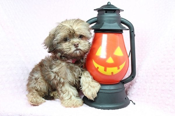 Rocky Road - Toy Shih Tzu Puppy Found Her Loving Home With Geneva M. In Fillmore CA, 93015-0