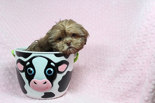 Rocky Road - Toy Shih Tzu Puppy Found Her Loving Home With Geneva M. In Fillmore CA, 93015-25533