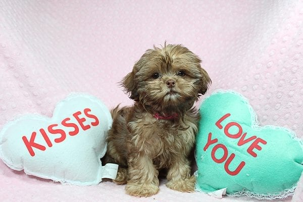 Rocky Road - Toy Shih Tzu Puppy Found Her Loving Home With Geneva M. In Fillmore CA, 93015-25535