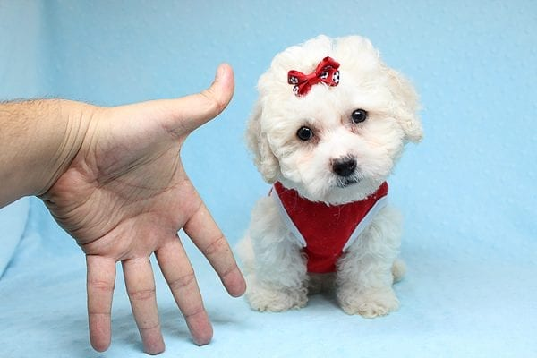 San Francisco - Toy Maltipoo puppy has found a good loving home with Vicky from Las Vegas, NV 89108. -0