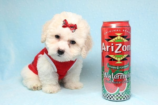 San Francisco - Toy Maltipoo puppy has found a good loving home with Vicky from Las Vegas, NV 89108. -25451