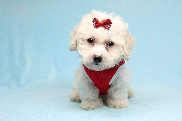 San Francisco - Toy Maltipoo puppy has found a good loving home with Vicky from Las Vegas, NV 89108. -25448