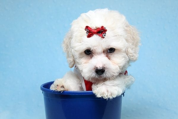 San Francisco - Toy Maltipoo puppy has found a good loving home with Vicky from Las Vegas, NV 89108. -25452