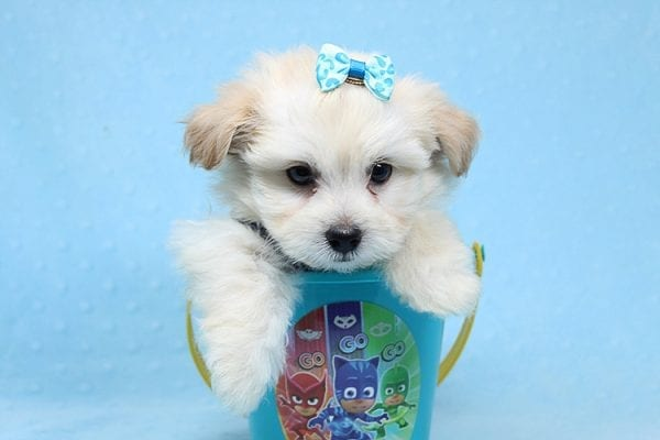 Armani - Teacup Maltese Puppy Found His New Loving Home with Haydee Bakersfield CA 93313-25863