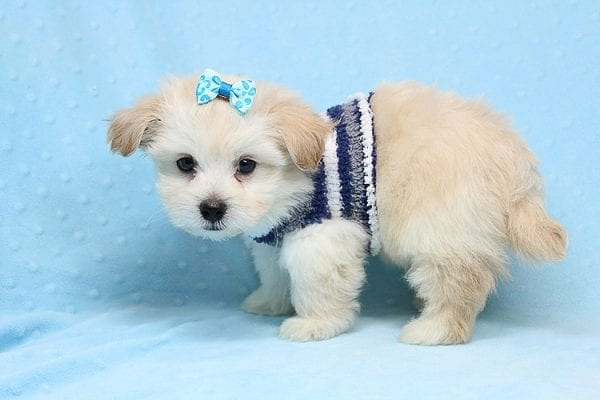 Armani - Teacup Maltese Puppy Found His New Loving Home with Haydee Bakersfield CA 93313-25865