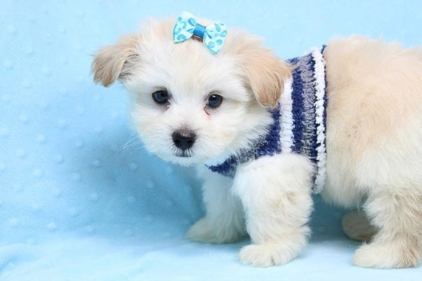 Armani - Teacup Maltese Puppy Found His New Loving Home with Haydee Bakersfield CA 93313-25866