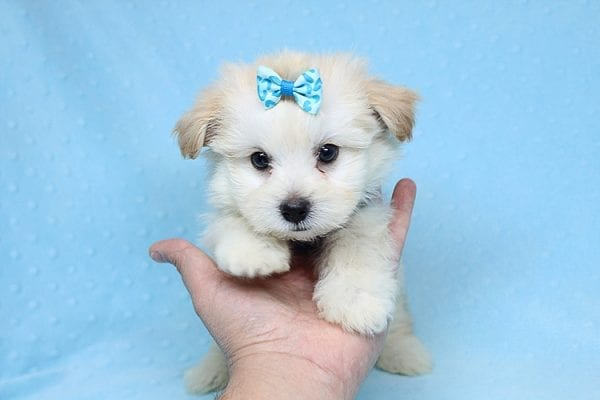Armani - Teacup Maltese Puppy Found His New Loving Home with Haydee Bakersfield CA 93313-25860