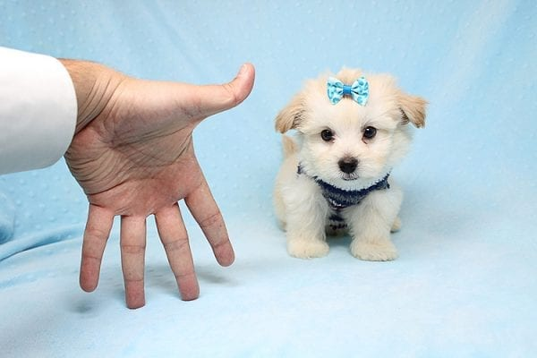 Armani - Teacup Maltese Puppy Found His New Loving Home with Haydee Bakersfield CA 93313-25861