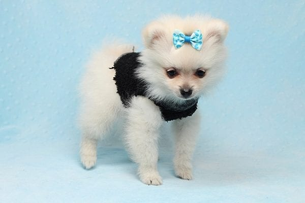 Ben Affleck - Teacup Pomeranian Found His New Loving Home with Douglas Los Angeles CA 90005-0