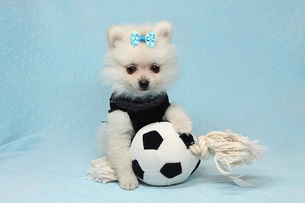 Ben Affleck - Teacup Pomeranian Found His New Loving Home with Douglas Los Angeles CA 90005-25820