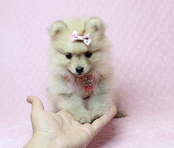 Brave - Teacup Pomeranian Puppy Found her New Loving Home with Sharon from Hawthorne CA 90250-26016