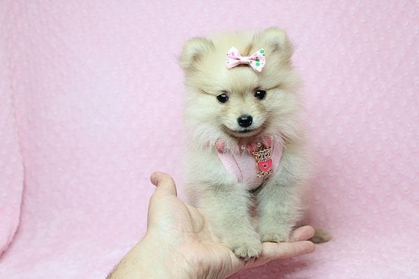 Brave - Teacup Pomeranian Puppy Found her New Loving Home with Sharon from Hawthorne CA 90250-26021