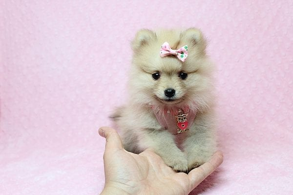 Brave - Teacup Pomeranian Puppy Found her New Loving Home with Sharon from Hawthorne CA 90250-26023