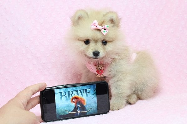 Brave - Teacup Pomeranian Puppy Found her New Loving Home with Sharon from Hawthorne CA 90250-26025