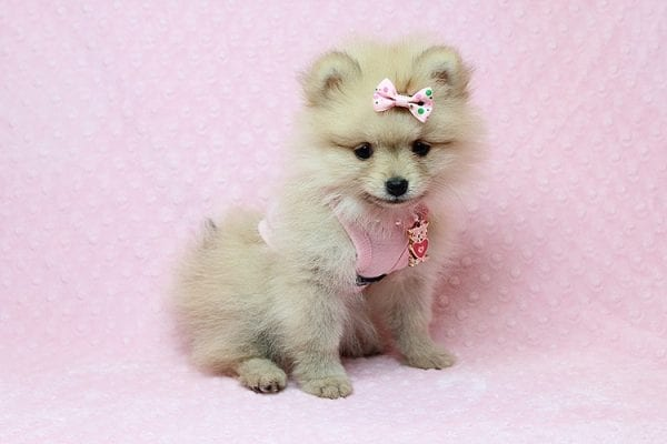 Brave - Teacup Pomeranian Puppy Found her New Loving Home with Sharon from Hawthorne CA 90250-26026