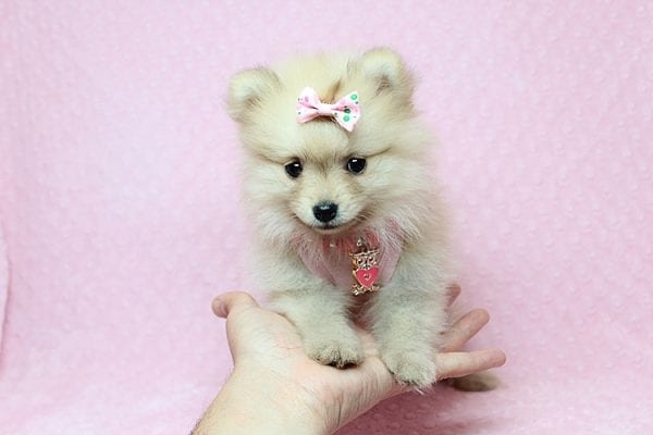 Brave - Teacup Pomeranian Puppy Found her New Loving Home with Sharon from Hawthorne CA 90250-26017