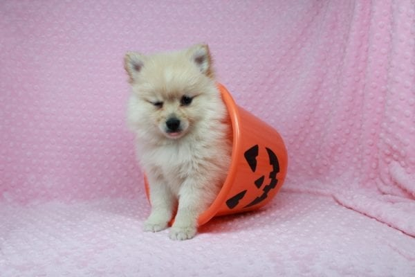 Claudia - Toy Pomeranian Puppy has found a good loving home with Marina from Las Vegas, NV 89101-25895