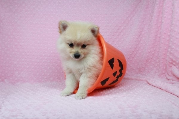 Claudia - Toy Pomeranian Puppy has found a good loving home with Marina from Las Vegas, NV 89101-25896