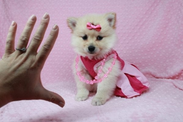 Claudia - Toy Pomeranian Puppy has found a good loving home with Marina from Las Vegas, NV 89101-25897