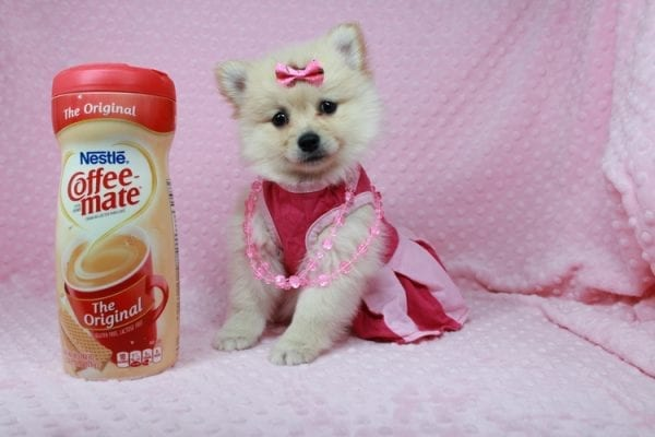 Claudia - Toy Pomeranian Puppy has found a good loving home with Marina from Las Vegas, NV 89101-25898