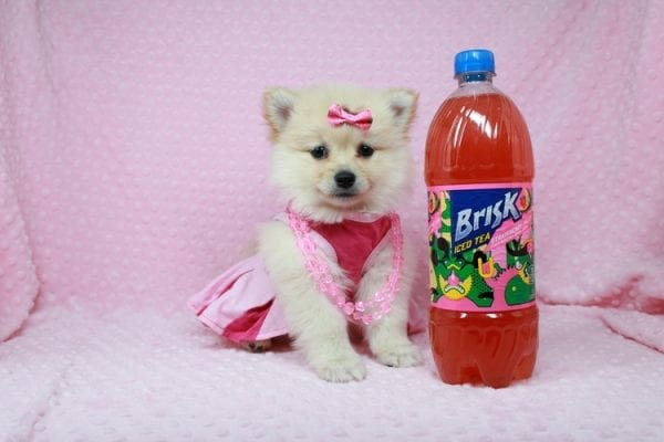 Claudia - Toy Pomeranian Puppy has found a good loving home with Marina from Las Vegas, NV 89101-25899