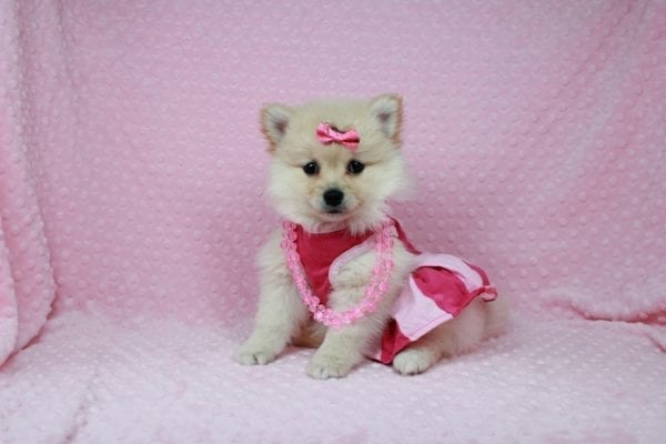 Claudia - Toy Pomeranian Puppy has found a good loving home with Marina from Las Vegas, NV 89101-25900