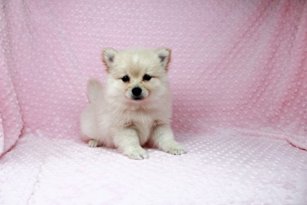 Claudia - Toy Pomeranian Puppy has found a good loving home with Marina from Las Vegas, NV 89101-25893