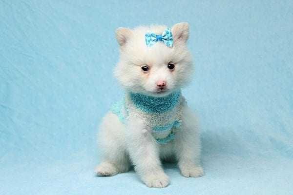 Cotton Ball - Tiny Teacup Pomeranian Puppy has found a good loving home with Jargita from Sunny Isles beach, FL 33160.-25708