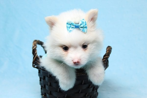 Cotton Ball - Tiny Teacup Pomeranian Puppy has found a good loving home with Jargita from Sunny Isles beach, FL 33160.-25713