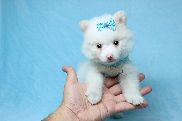 Cotton Ball - Tiny Teacup Pomeranian Puppy has found a good loving home with Jargita from Sunny Isles beach, FL 33160.-25710