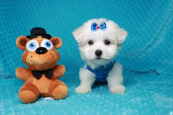 Fendi - Teacup Maltese Puppy has found a good loving home with Anthony from Las Vegas, NV 89120-0