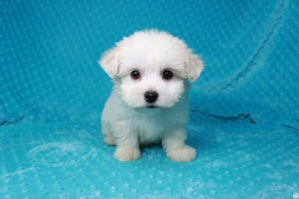 Fendi - Teacup Maltese Puppy has found a good loving home with Anthony from Las Vegas, NV 89120-25974