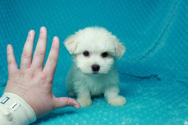 Fendi - Teacup Maltese Puppy has found a good loving home with Anthony from Las Vegas, NV 89120-25976