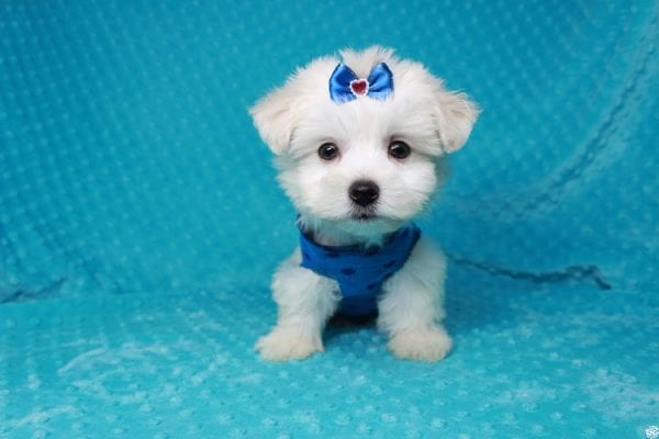 Fendi - Teacup Maltese Puppy has found a good loving home with Anthony from Las Vegas, NV 89120-25975