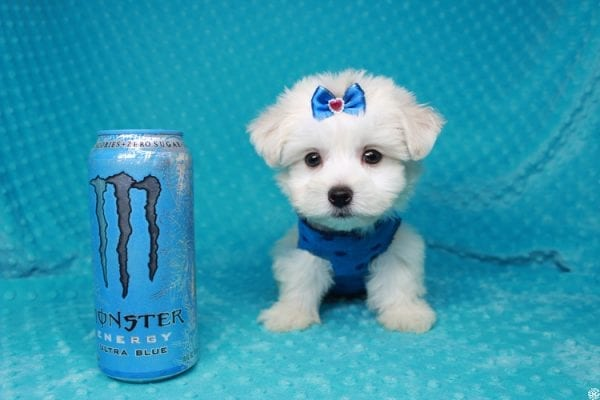 Fendi - Teacup Maltese Puppy has found a good loving home with Anthony from Las Vegas, NV 89120-25977