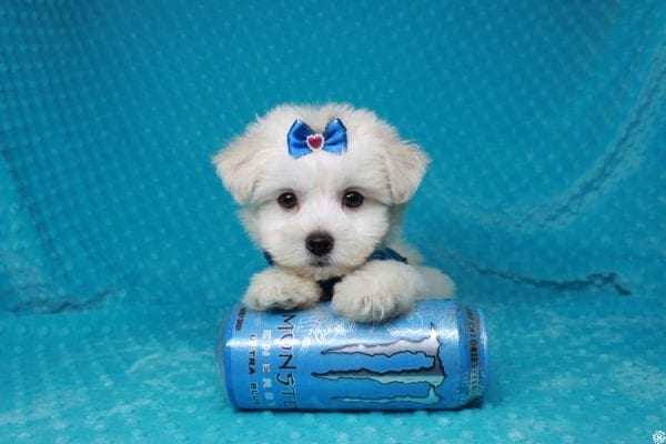 Fendi - Teacup Maltese Puppy has found a good loving home with Anthony from Las Vegas, NV 89120-25979