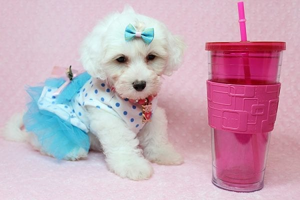 Kate Upton - Toy Maltipoo Puppy found a home with Sofia L from Los Angeles CA 90005-25856
