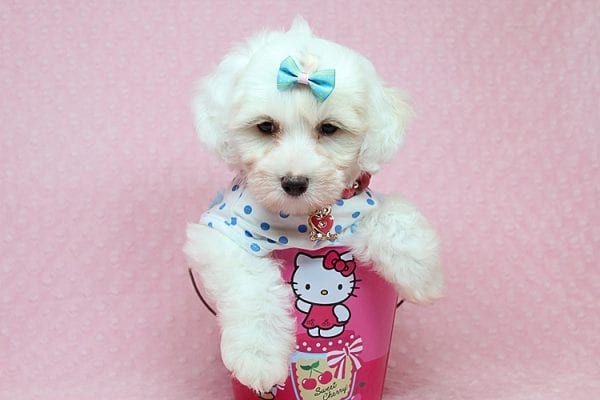 Kate Upton - Toy Maltipoo Puppy found a home with Sofia L from Los Angeles CA 90005-25857
