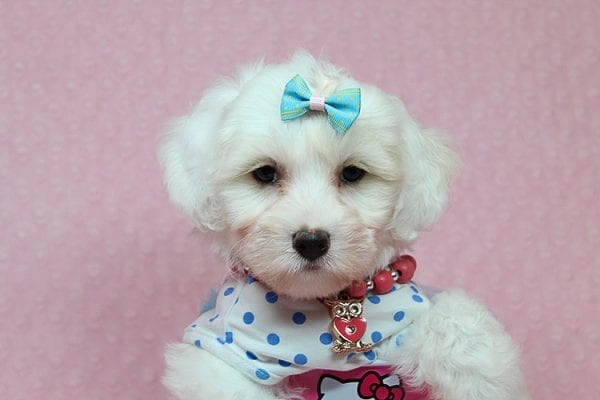 Kate Upton - Toy Maltipoo Puppy found a home with Sofia L from Los Angeles CA 90005-25858