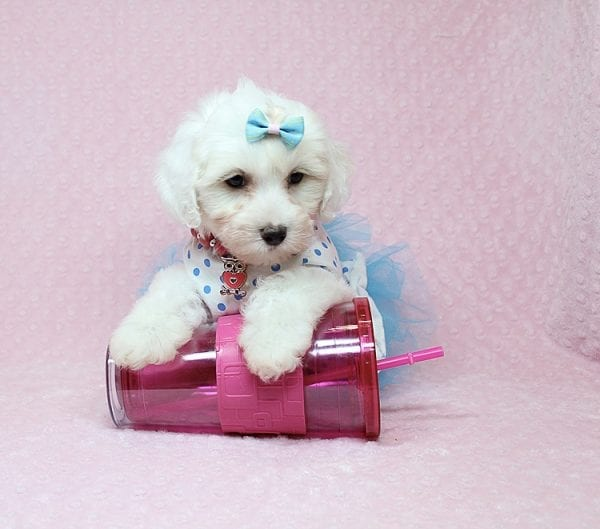 Kate Upton - Toy Maltipoo Puppy found a home with Sofia L from Los Angeles CA 90005-25859