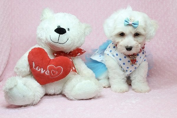 Kate Upton - Toy Maltipoo Puppy found a home with Sofia L from Los Angeles CA 90005-25851