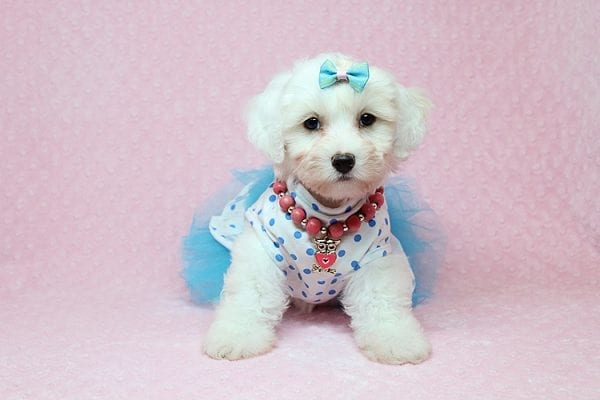 Kate Upton - Toy Maltipoo Puppy found a home with Sofia L from Los Angeles CA 90005-25853