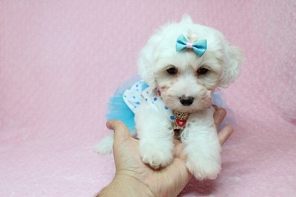 Kate Upton - Toy Maltipoo Puppy found a home with Sofia L from Los Angeles CA 90005-25852