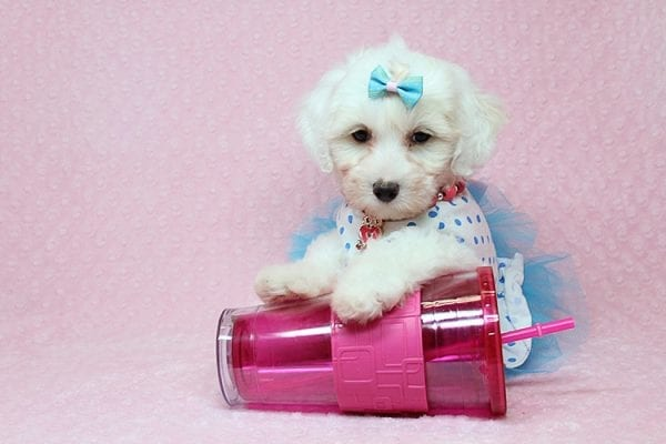 Kate Upton - Toy Maltipoo Puppy found a home with Sofia L from Los Angeles CA 90005-0